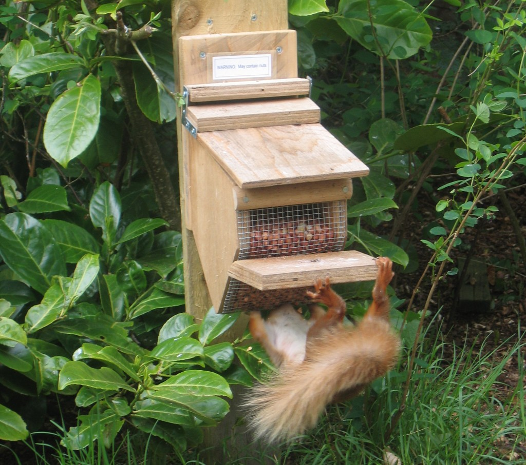 Cropped red squirrel_on_feeder