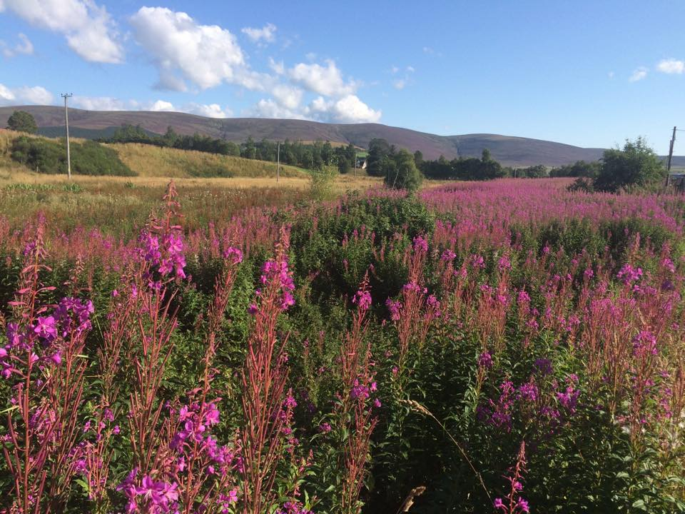 Rosebay willowherb Rossmor